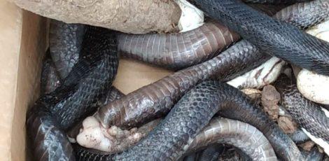 ular kobra banyuasin